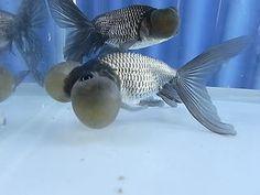 Blue bubble eye goldfish - photo#5