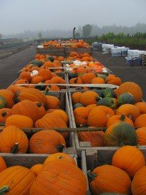 Grown by Lil' Al's pumpkins have arrived!