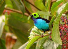 tangara chilensis - Google Search