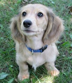Officially the dog I want! Long Haired English Cream Mini Dachshund