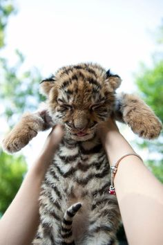 cat, baby baby, pet, auburn tigers, tiger cubs, ador, babi tiger, baby animals, awwww