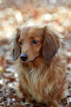 sweet long haired doxie #cute #dachshund