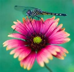Good Garden Bug: The Dragonfly. An adult dragonfly has two sets of translucent, net-veined wings, and its long abdomen is variously colored. It eats a range of pest insects, including flies and mosquitoes. The young, which are aquatic, also attack immature mosquitoes.