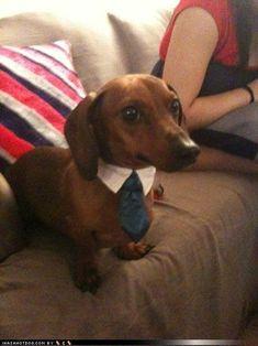love :) sharp dress, dress man, peanut, tie, dachshund, collar, puppi, wiener dogs, boyfriends