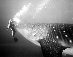Dive with Whale Shark
