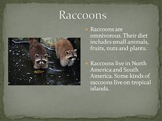 City Wildlife Raccoons