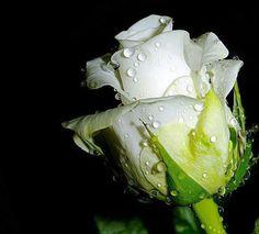 Una Bella Rosa Blanca
