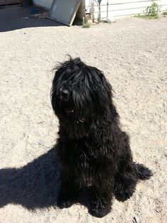 at home, herd, homes, briard