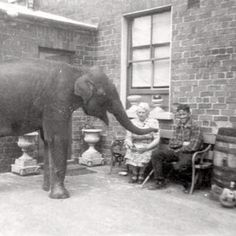 Sheila the elephant retreats to Denise's house. German air raid by 200 Luftwaffe bombers hit the city of Belfast, Northern Ireland. Belfast resident Denise Austin (a zookeeper) kept Sheila the elephant, a 5ft tall calf, safe in her walled courtyard for several months during the Blitz. Denise had been visiting the zoo during air raids to talk to Sheila and keep her calm.