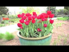 Growing Tulips   At Home With P. Allen Smith