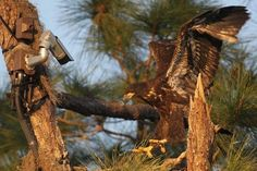 Fledgling eagles in North Fort Myers get ready to fly