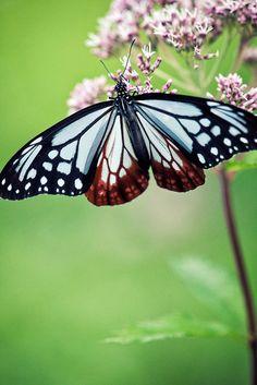 Chestnut Tiger #Butterfly | #Butterflies | #Moths