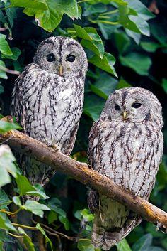 Gray Owls