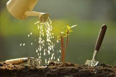 Preventing Chlorosis in Acid Loving Plantsw