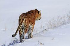 Rescued Tiger
