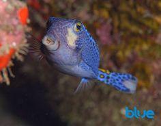 Pacific Boxfish
