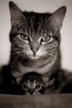 Mommy and kitten kitty cats, mother, famili, pet, family portraits, baby kittens, baby animals, baby cats, eye