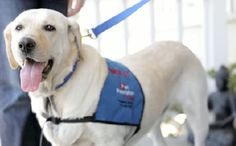 yellow-lab-beats-cancer :) :) :) :):) therapi dog, southern california, therapy dogs, canin hero, labrador rescu, beat cancer, cancer patient, suffer abus, yellow labrador