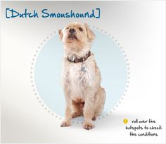The Dutch Smoushond, or Dutch Ratter, is a very rare breed of dog descended from terrier-type dogs in Germany and the Netherlands. He was originally bred to keep stables free of rats and other vermin, but he was also popular in the late 1800s as a gentleman's companion.