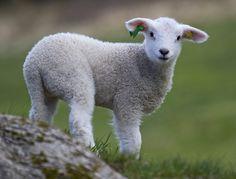Lamb by Malabar., via Flickr