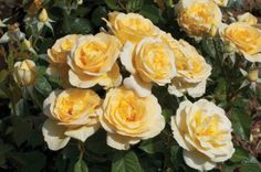 Sunshine Daydream #rose blooms spring to frost