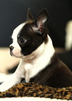 Cute Boston Terrier pup. I want another boston baby!!!!!!