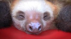 Stop what you're doing right now, and watch this video of a bucket. of. sloths.