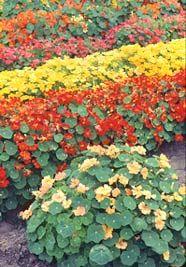 Nasturtiums -- Edible Landscaping with Charlie Nardozzi :: National Gardening Association