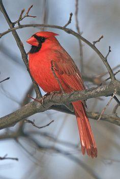 """TheNorthern Cardinalis the state bird of the most states (7):  Illinois, Indiana, Kentucky,North Carolina, Ohio, VirginiaandWest Virginia."""