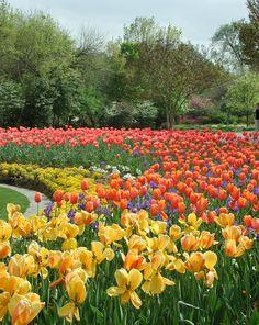 Tulips in Dallas Texas