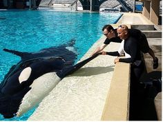 """Theme Park Insider editor Robert Niles, with trainer Ken Peters, shakes """"hands"""" with Corky the killer whale at SeaWorld San Diego."""