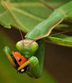 adyburger  © DeVil  Praying mantis eats a cute ladybug. Cruel, but that's the nature...  Photos like this are very rare because ladybugs are not edible for other insects. They release an acid-like substance, yellow in color.