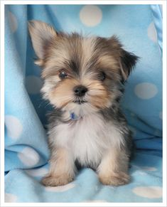 """""""Morkie"""" - Maltese Yorkie  That is too sweet!  Emma would just squeal!!"""