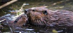 Beavers Galore!!! More Beaver Shots.
