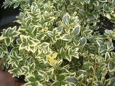 BUXUS VARIEGATED BOXWOOD