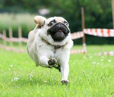 Run Pug, Run!!