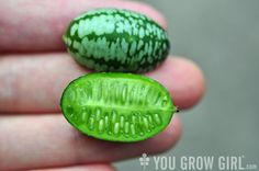 Food Worth Growing: Mexican Sour Gherkin