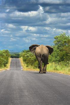 Elephant.  Kruger National Park, South Africa by jana.wojcik