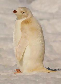 albino adelie penguin