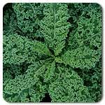 Organic Ripbor F1 Hybrid Kale