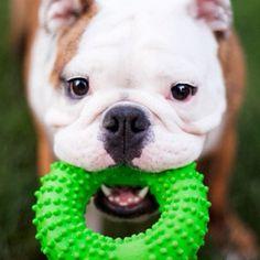 #englishbulldog  #bullytroopsgang  #squishyfacecrew  #english #bulldog #pic