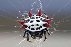 spiny orb weaver spider photo by Mike Kullen,