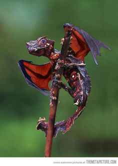 From Madagascar, the satanic leaf tailed gecko with flying fox wings…creepy.