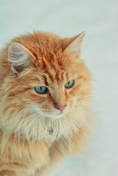 kitty cats, orang, white cats, kitti cat, blue eye, ginger cat, baby cats, grumpy cats, eyes