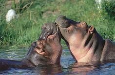Hippopotamuses (© Rex Features)