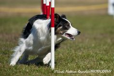 Dog Agility-Brook
