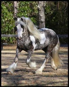 """Austin      2007 Gypsy Stallion """"Austin"""""""