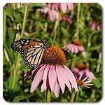Organic Purple Coneflower
