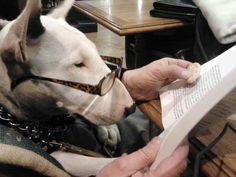 studying)) #Bullterrier #Dog #Funny #Puppy