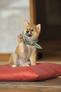 a dog called Japanese midget Shiba| via tumblr